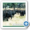2001 First sale in Australia to sell all Yearling Bulls