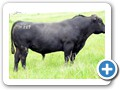 Raff Angus Bulls for Sale -11 Raff Knockout M217